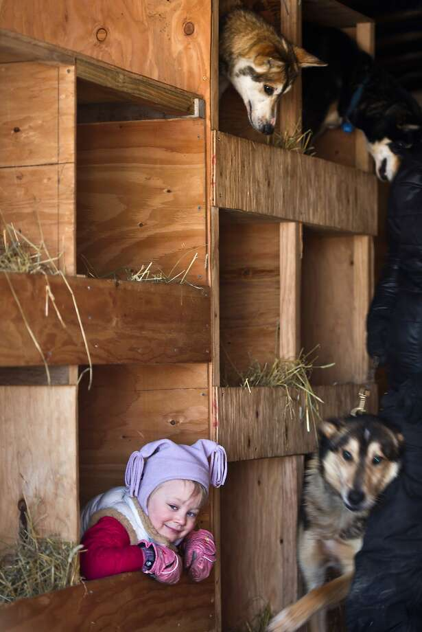 Three dogs and a baby:Huskies and a musher-in-training peek out of the dog kennels on Dallas Seavey's truck before the start of the Iditarod in Willow Lake, Alaska. The little girl is Seavey's daughter, Annie. Photo: Marc Lester, Associated Press