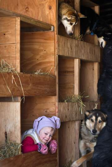 Dallas Seavey's daughter, Annie, plays in her dad's dog truck before the start of the Iditarod Trail