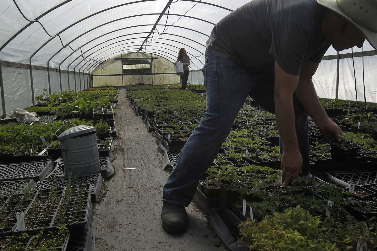 Joanne Krueger, left, carries fertilizer for plant starts as Dan Lehrer organizes seedlings in one of their green houses Feb. 25, 2014 at Flatland Flower Farm in Sebastopol, Calif. Lehrer and Krueger moved out to Sebastopol to try organic farming 15 years ago from their backyard farm in Berkeley. The couple bought an apple orchard and they currently have three green houses which they use to grow a variety of rare and native plant starts. They have recently added the Dirty Girl tomato plant seedling to the list of plants they sell at Ferry Plaza farmers market.