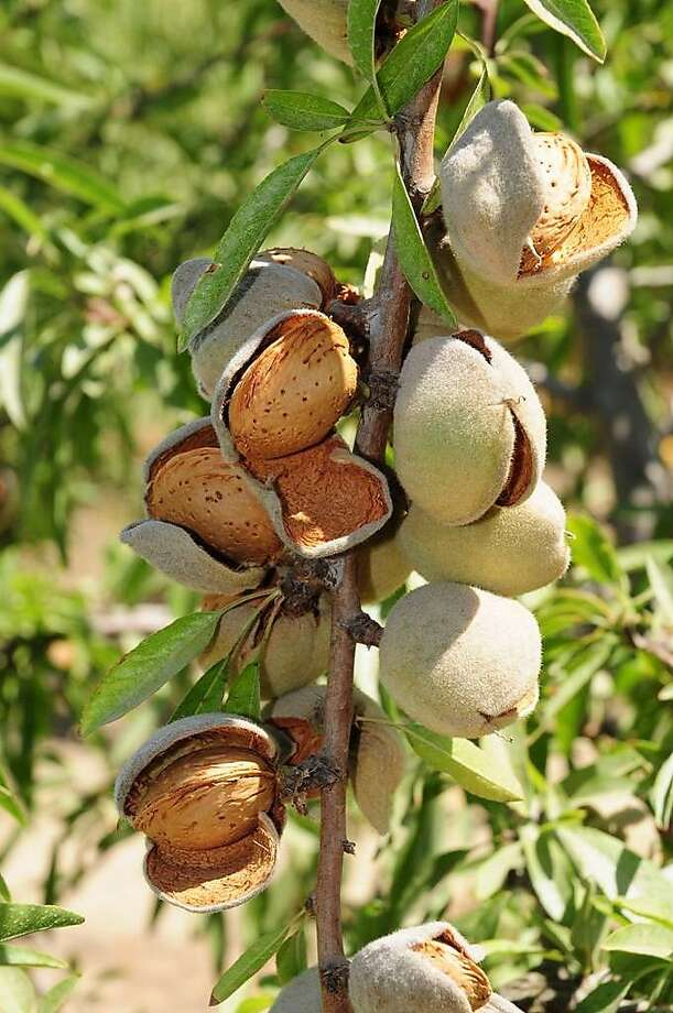 Marcona Almond Photo: Burchell Nursery