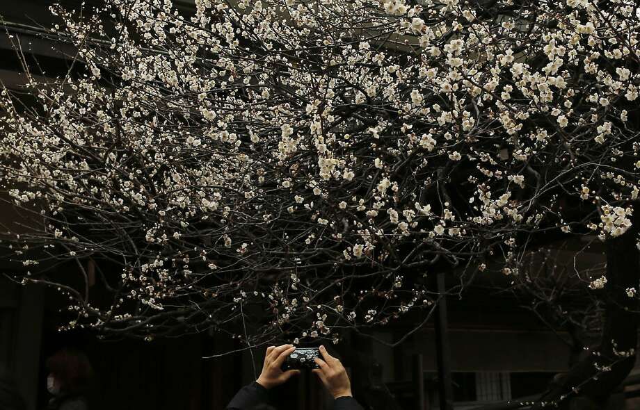 Spring is right around the corner:A visitor takes a picture of a white plum tree in bloom at the Yushima 