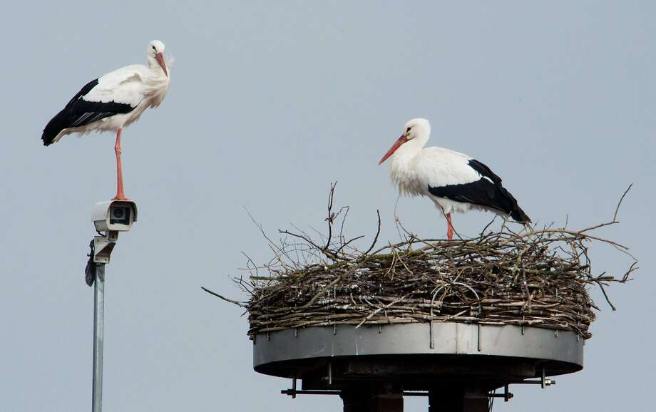 I'm all for taping the blessed event, dear, but it could be days before the egg cracks:A   surveillance camera points at a stork's nest in Auhagen, Germany. Photo: Julian Stratenschulte, AFP/Getty Images