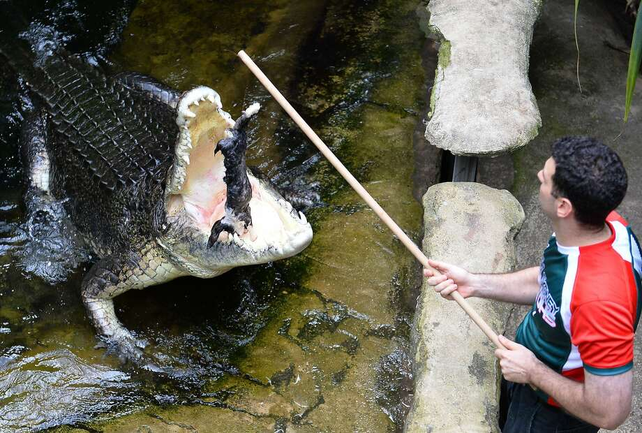Watch me make a rabbit disappear:Rex, a supposedly psychic saltwalter crocodile, jumps 