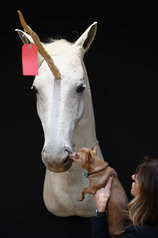 Visa, MasterCard or leprechaun gold accepted: A skeptical Chihuahua investigates a mythical creature at Christie's auction house in London. The unicorn head is part of the collection of Les Trois Garcons, a celebrity restaurant in Shoreditch, which will be auctioned off in Knightsbridge (the collection, not the restaurant). Photo: Dan Kitwood, Getty Images