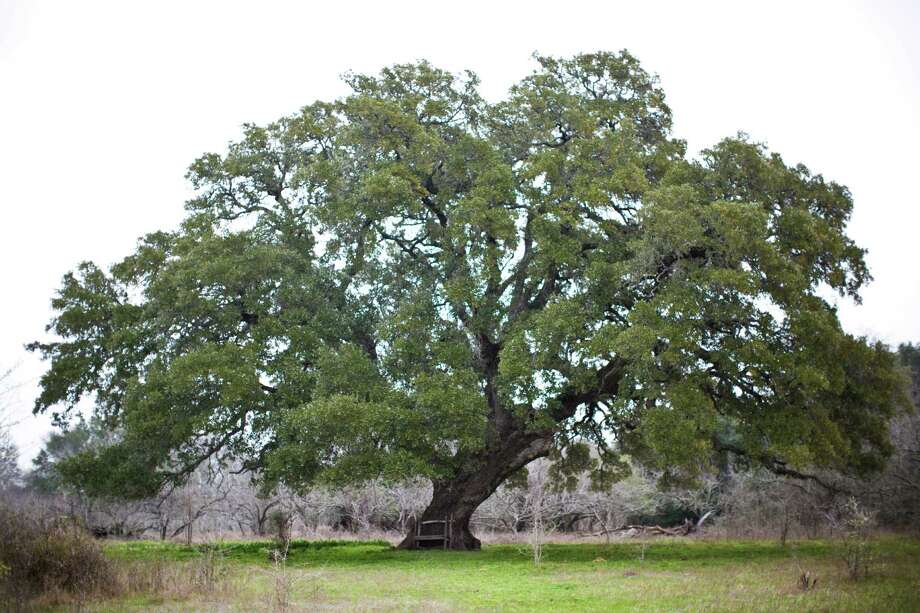 A stand of centuries-old oaks has been marked to be cut to build a highway in Snook. The family that has owned the property is trying to save the trees. Photo: Marie D. De Jeséºs, Staff / © 2014 Houston Chronicle