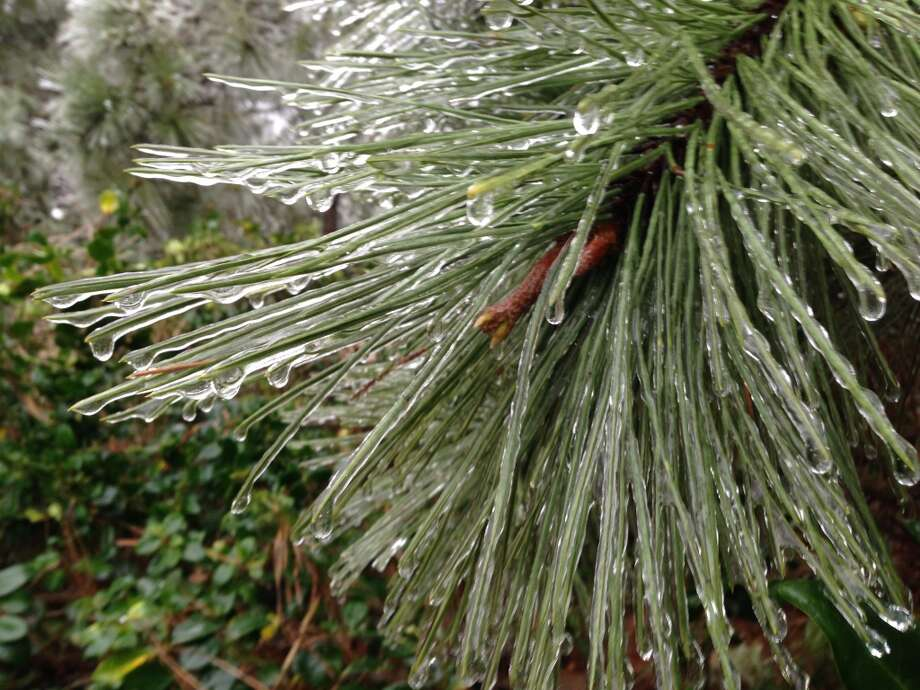 A pine tree is shown covered in ice Tuesday, March 4, 2014 in Spring.  (Melissa Phillip/Houston Chronicle)