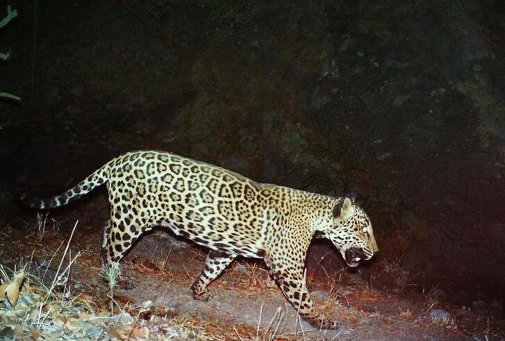 This June 17, 2013 photo released by the U.S. Fish and Wildlife Service showing a male jaguar photographed by automatic wildlife cameras in the Santa Rita Mountains.  Federal wildlife officials on Tuesday, March 4, 2014 set aside nearly 1,200 square miles along the U.S.-Mexico border as habitat essential for the conservation of the jaguar, a species that hasn't been spotted in New Mexico in eight years and one that has made only fleeting appearances on wildlife cameras in Arizona's Santa Rita Mountains. (AP Photo/U.S. Fish and Wildlife Service)