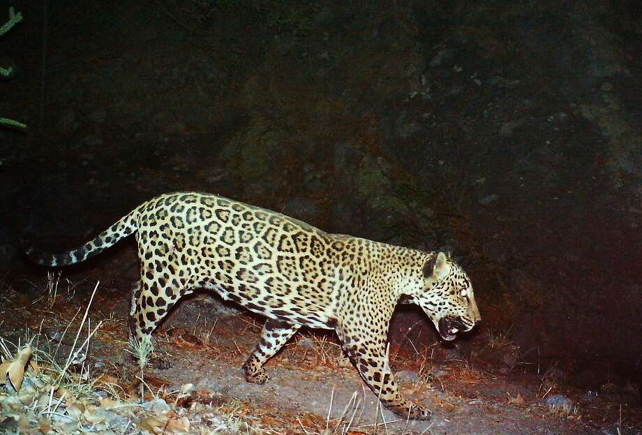 A male jaguar is photographed by automatic remote cameras in Arizona's Santa Rita Mountains. Photo: Associated Press