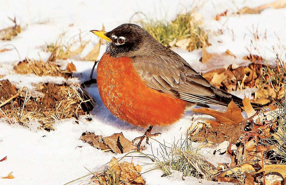 It's not polite to talk about someone's weight, but ...A roly-poly robin puffs 