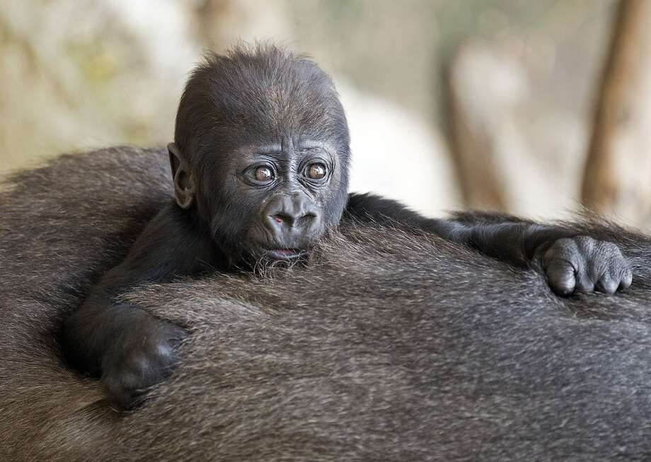 What thick fur you have, Grandma! Baby gorilla Jengo   sinks into the back of his grandmother, Viringika, at the zoo in Leipzig, Germany. Photo: Jens Meyer, Associated Press