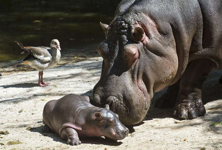 Baby's first step: Mama hippo tries to help her 9-day-old baby walk at the Chapultepec Zoo in Mexico City. Photo: Ronaldo Schemidt, AFP/Getty Images