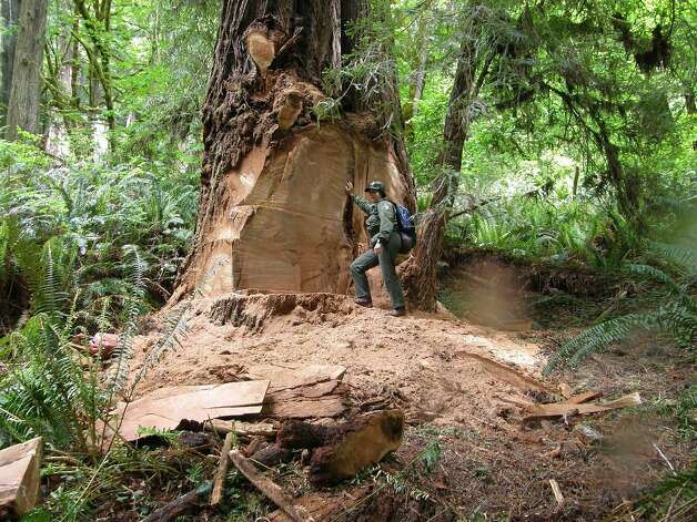 This May 21, 2013 photo provided by the National Park Service shows wildlife biologist Terry Hines standing next to a massive scar on an old growth redwood tree in the Redwood National and State Parks near Klamath, Calif., where poachers have cut off a burl to sell for decorative wood. The park recently took the unusual step of closing at night a 10-mile road through a section of the park to deter thieves. (AP Photo/Redwood National and State Parks, Laura Denn) Photo: Laura Denny, Associated Press