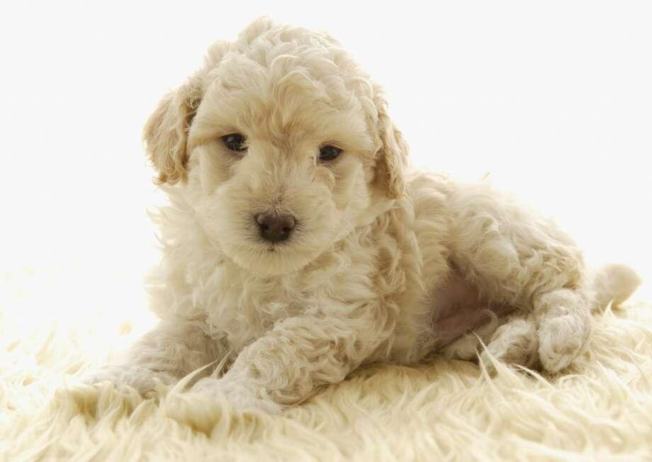 6. Poodle Photo: Datacraft Co Ltd, Getty Images/imagenavi