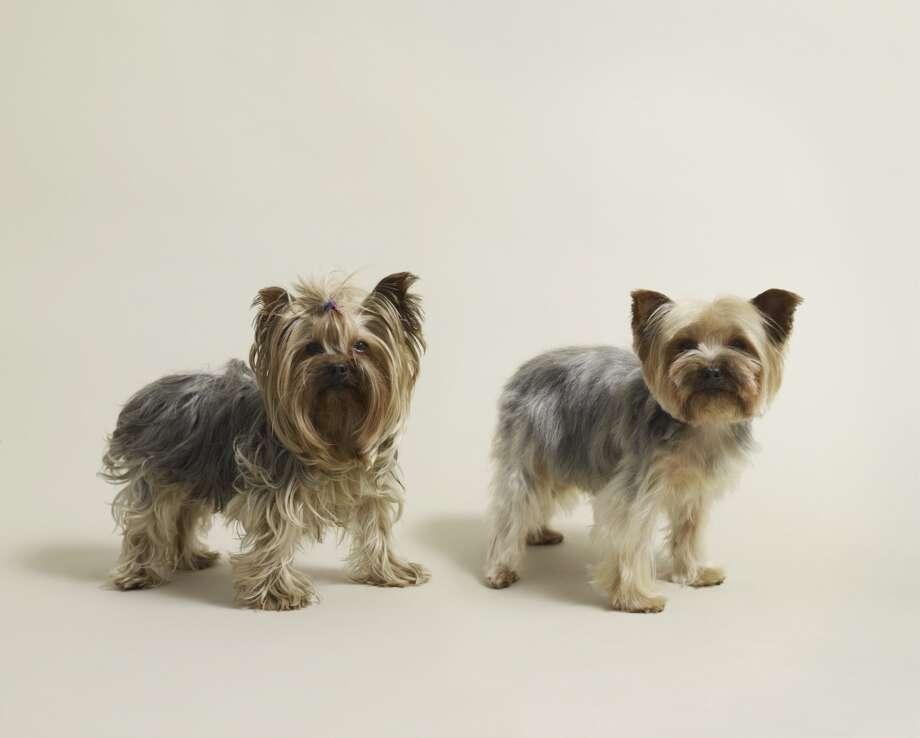 5. Yorkshire Terrier Photo: Dan Burn-Forti, Getty Images