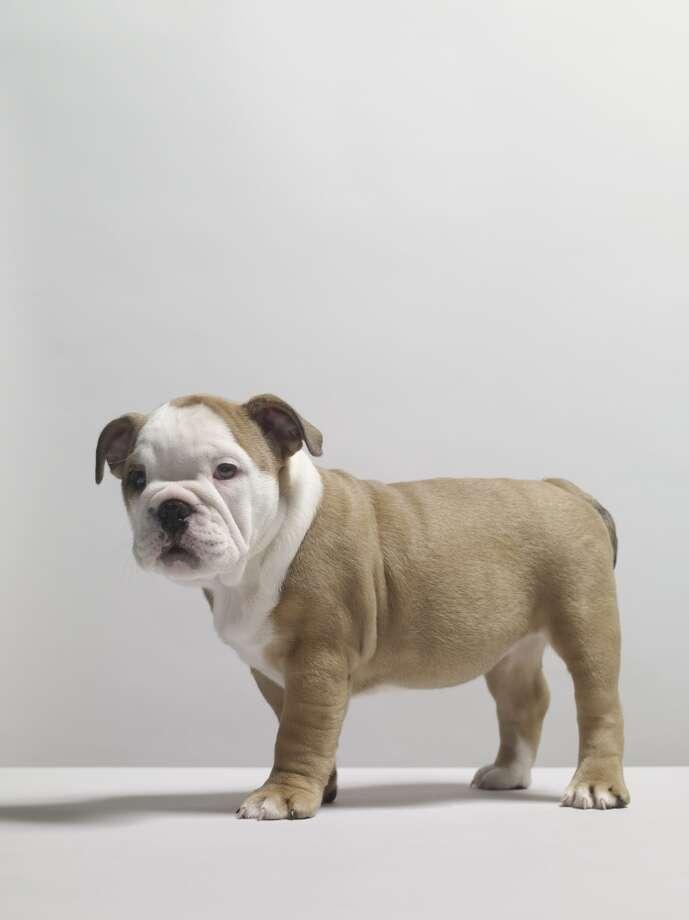2. Bulldog