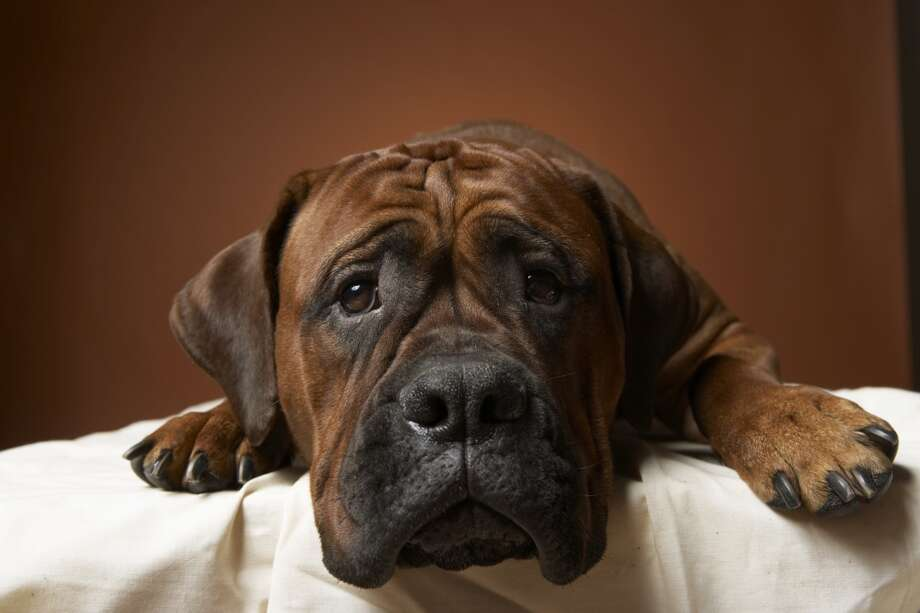 9. Boxer Photo: Chris Amaral, Getty Images