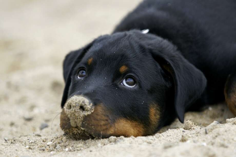 7. Rottweiler Photo: Copyright Www.pfotenblitzer.de, Getty Images/Flickr RF