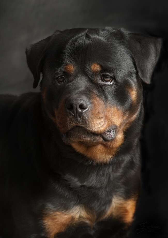 7. Rottweiler Photo: Silversaltphoto.j.senosiain, Getty Images/Flickr RF