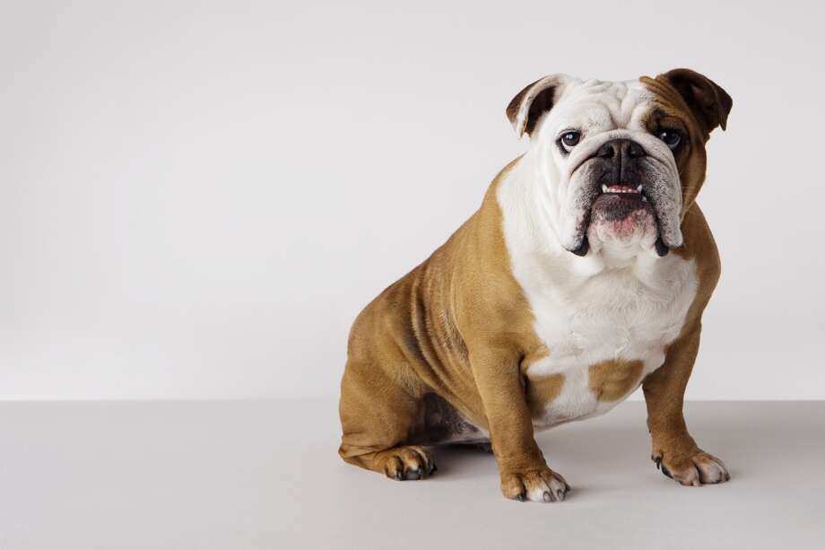 2. Bulldog Photo: Compassionate Eye Foundation/David Leahy, Getty Images
