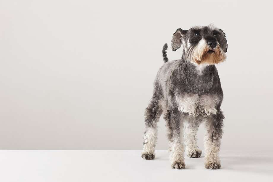 8. Miniature Schnauzer Photo: Compassionate Eye Foundation/David Leahy, Getty Images