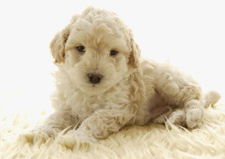 6. Poodle Photo: Datacraft Co Ltd, Getty Images/imagenavi