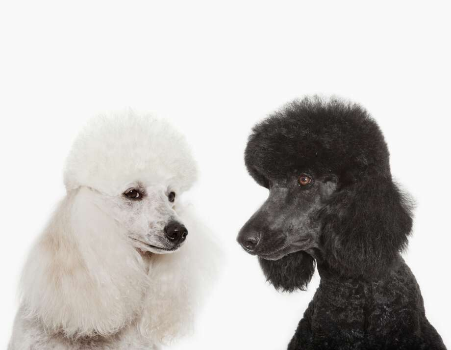 6. Poodle Photo: Anthony Lee, Getty Images/OJO Images RF