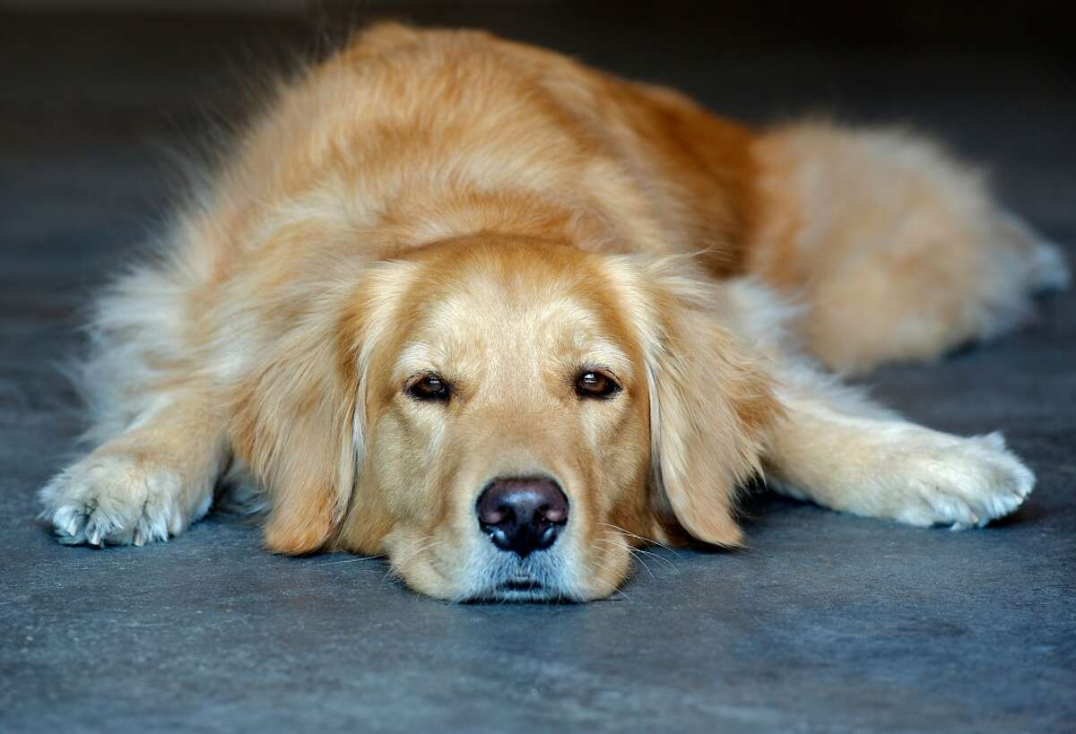 Not to be outdone by their cousin, this family-friendly retriever came in second with 1,776 in the city.