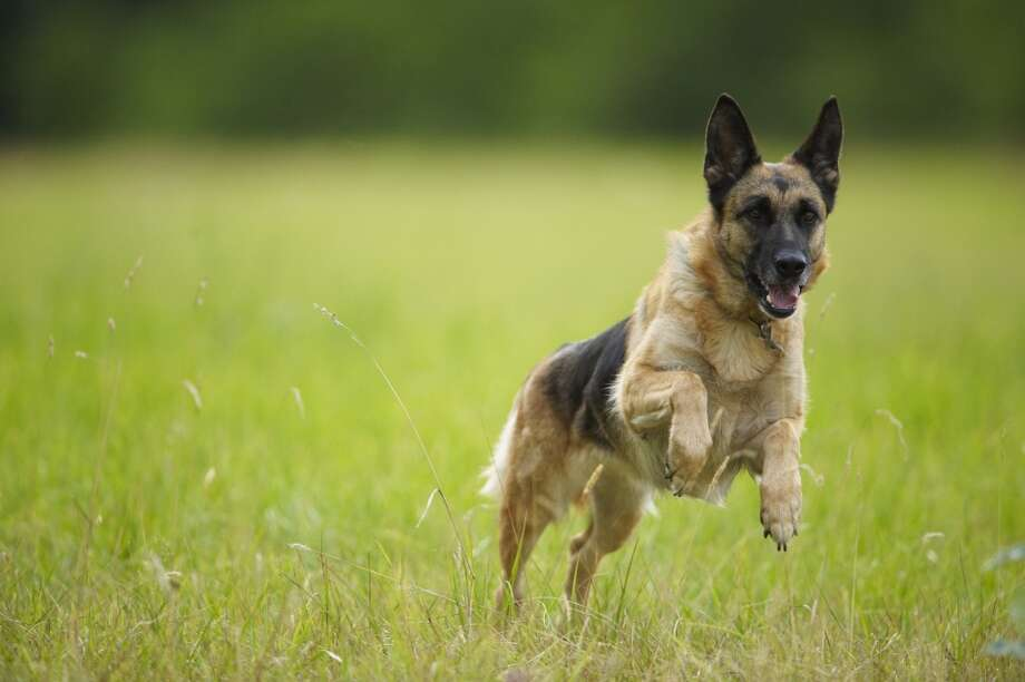 3. German Shepherd Photo: Ghislain & Marie David De Lossy, Getty Images/Cultura RF
