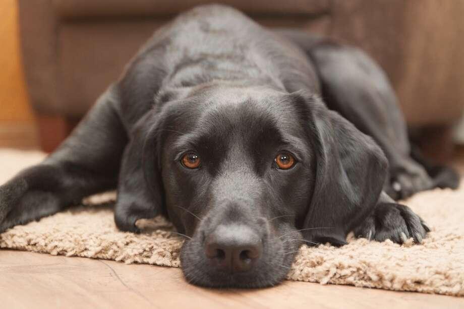 1. Labrador Retriever Photo: Christina Reichl Photography, Getty Images/Flickr RF