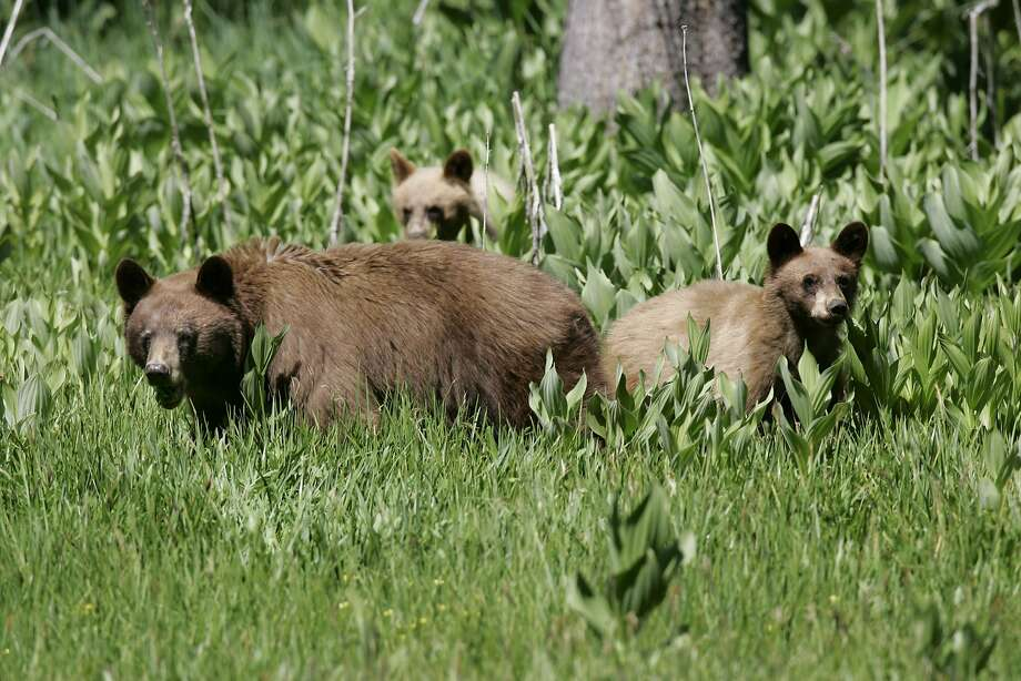 A black bear and her cubs graze on grass in Yosemite National Park. Before 1999, it would have been more likely that they would be eating human food. Photo: Michael Maloney, The Chronicle