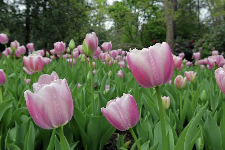 Bayou Bend is in full color with tulips, azaleas, flowering trees and shrubs for the Azalea Trail, which opens Friday. Photo: James Nielsen, Staff / © 2013  Houston Chronicle