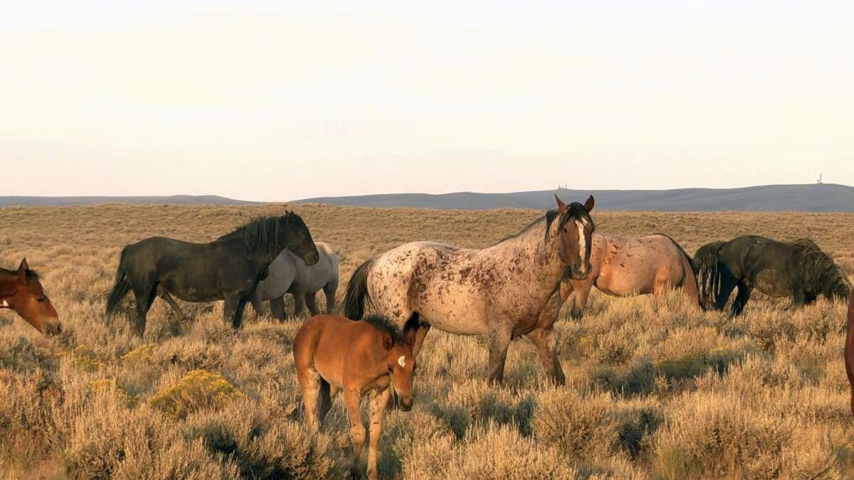 """""""American Mustang"""""""