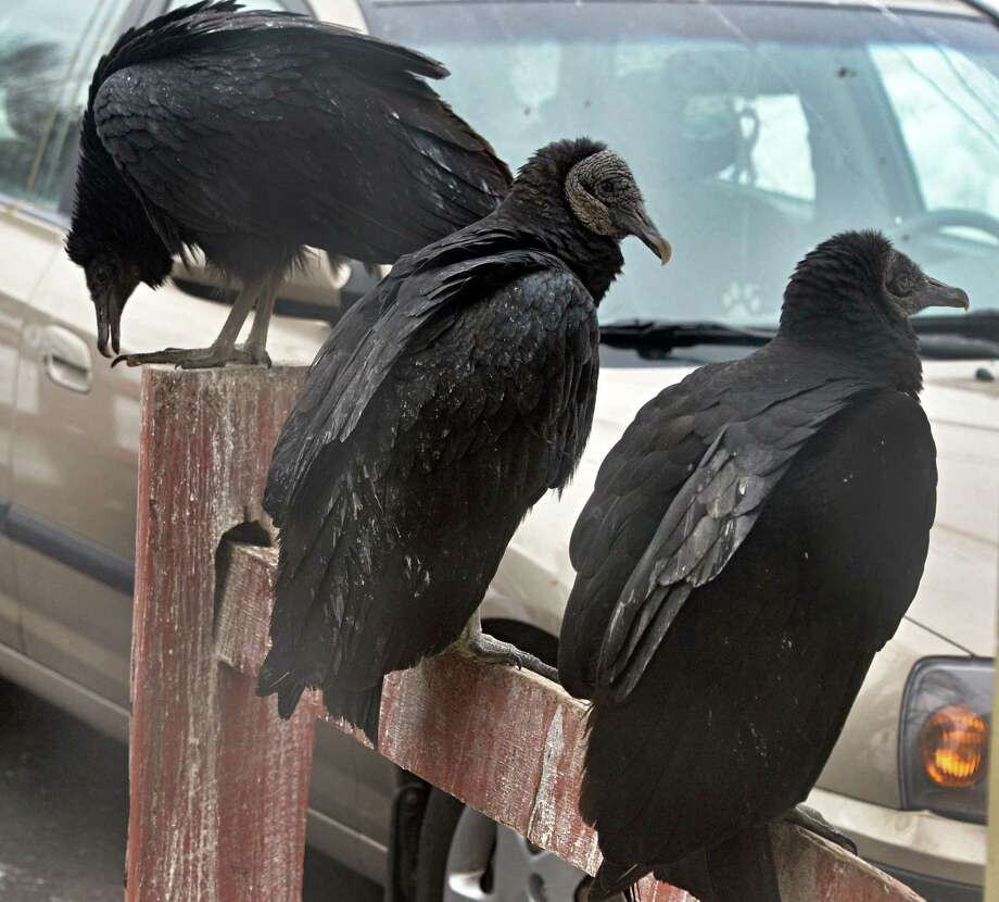 Vultures outside Patricia House's Willey Street home Wednesday March 5, 2014, in Guilderland, NY.  (John Carl D'Annibale / Times Union) Photo: John Carl D'Annibale / 00026008A