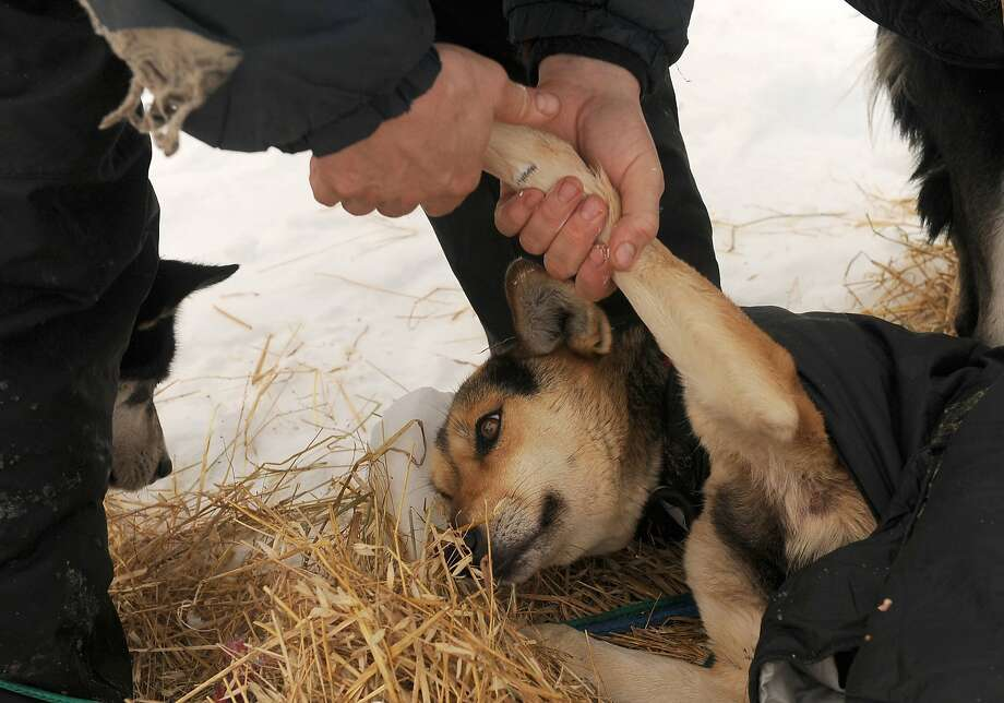 Nathan Schroeder, from Chisholm, Minn., rubs ointment into Loop's leg at the Takotna checkpoint during the 2014 Iditarod Trail Sled Dog Race on Wednesday, March 5, 2014, in Alaska. (Bob Hallinen/Anchorage Daily News/MCT) Photo: Bob Hallinen, McClatchy-Tribune News Service
