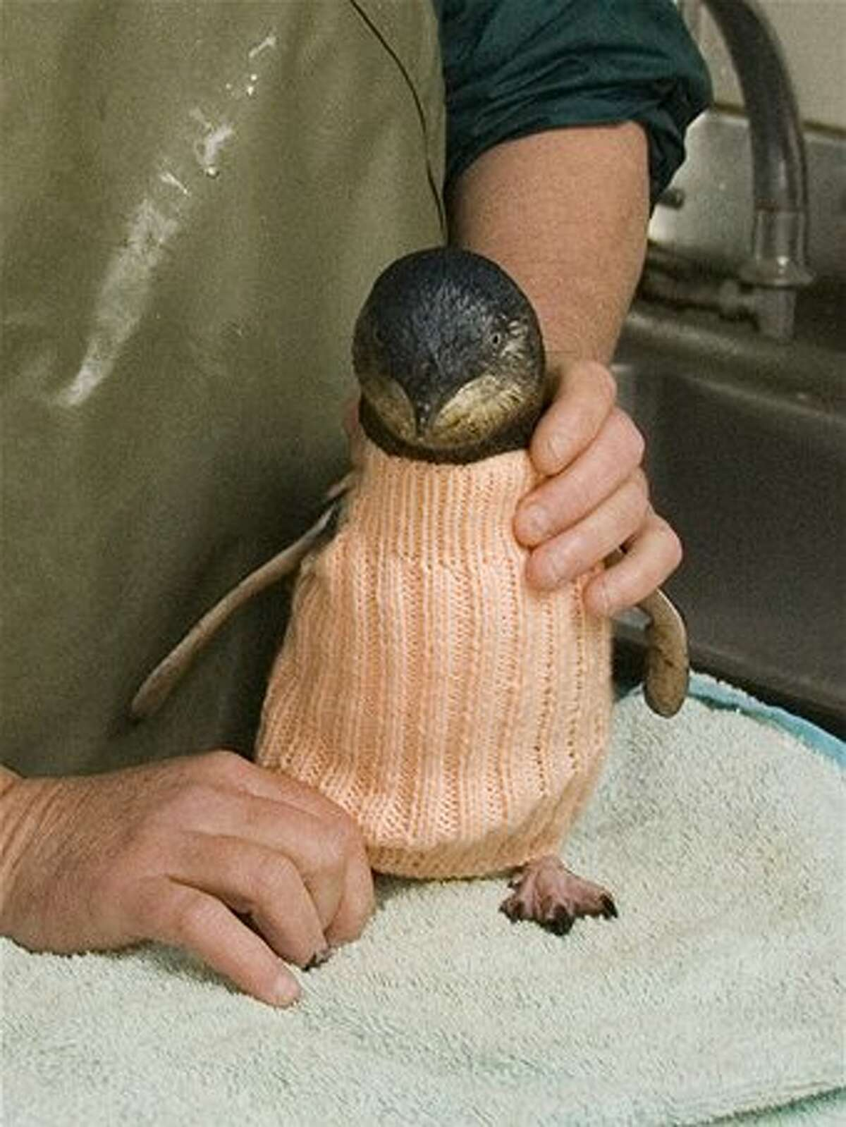 Penguins wear the sweaters to keep them warm and to stop them from preening oiled feathers.