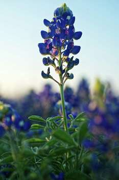 Bluebonnets are blooming along the northbound lane of Interstate 37 in Corpus Christi. With rain and warmer weather, the blooms will spread north to San Antonio and the Hill Country in the coming weeks. Photo: Eddie Seal, For The Express-News