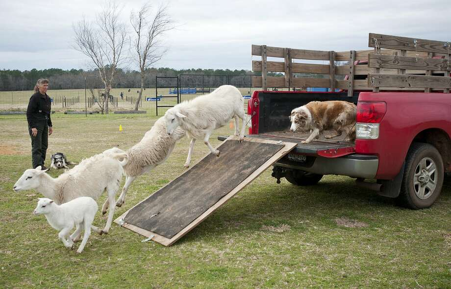 Is your truck full of sheep? Here's the solution: A herding dog demonstrates how to remove unwanted sheep from a truck at the 1836 Chuckwagon Race Festival held at Diamond B Ranch in Neches, Texas. Photo: Sarah A. Miller, Associated Press