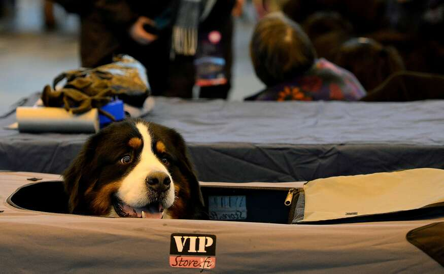 A Bernese Mountain Dog looks out of its tent during the first day of the Crufts dog show on March 6,