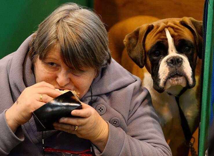 A Boxer dog looks on as its owner eats her lunch during the first day of the Crufts dog show on Marc