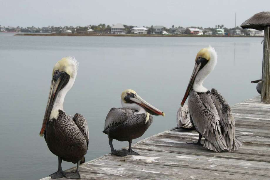 Brown pelicans are a common sight in Rockport.