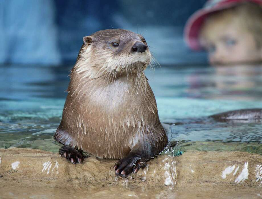Pete Tedesco watches the antics of a North American River Otter at the Otter Creek exhibit at the Texas State Aquarium in Corpus Christi. Photo: John Tedesco / San Antonio Express-News