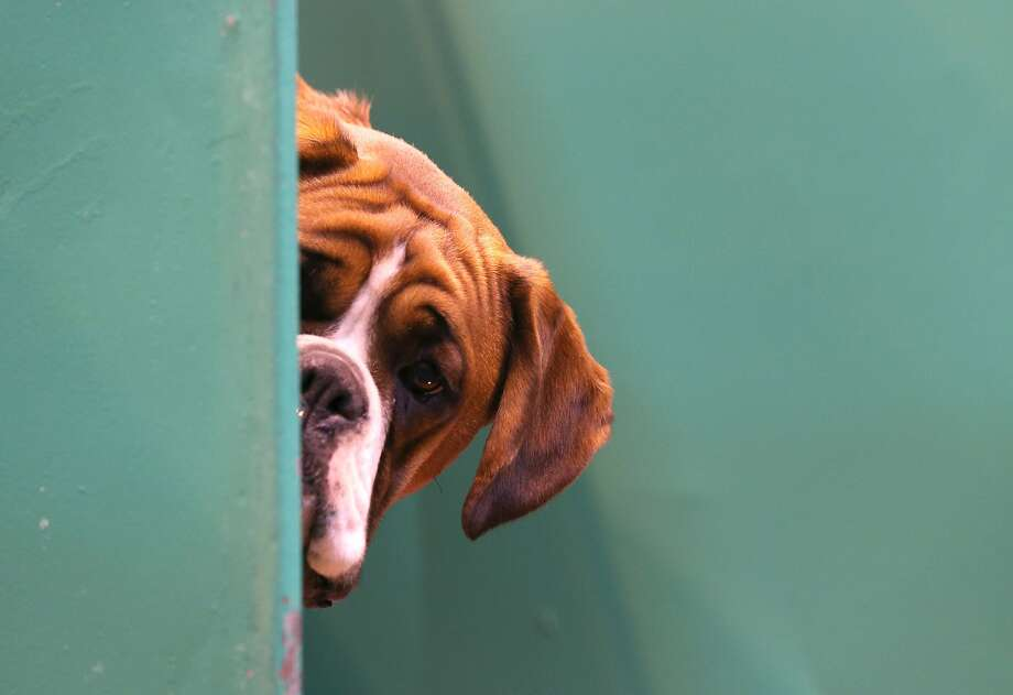 ***BESTPIX*** BIRMINGHAM, ENGLAND - MARCH 06:  A Boxer dog looks out from its kennel on first day of Crufts dog show at the NEC on March 6, 2014 in Birmingham, England. Said to be the largest show of its kind in the world, the annual four-day event, features thousands of dogs, with competitors travelling from countries across the globe to take part. Crufts, which was first held in 1891 and sees thousands of dogs vie for the coveted title of 'Best in Show'.  (Photo by Matt Cardy/Getty Images) Photo: Matt Cardy, Getty Images