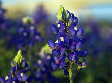 Bluebonnets, blooming now along Interstate 37  in Corpus Christi, are expected to be more bountiful than last year. Photo: Eddie Seal / For The Express-News