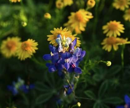 Butterweed shares a field with bluebonnets in Corpus Christi.