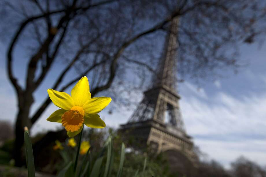 Nearly springtime in Paris:Daffodils blossom not far from the Eiffel Tower. Photo: Joel Saget, AFP/Getty Images