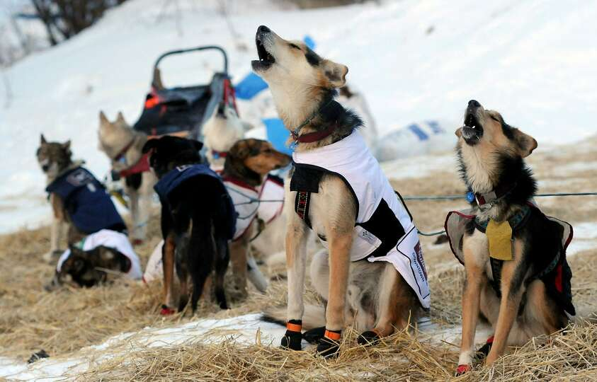 The dogs of Iditarod musher Allen Moore, from Two Rivers, Alaska,  howl as they prepare to leave the