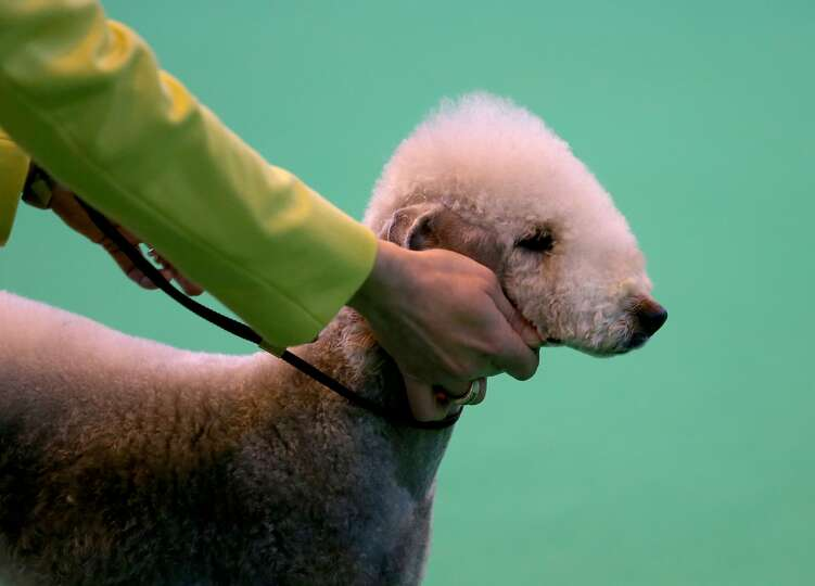 A Bedlington Terrier is shown in the judging ring on the second day of the Crufts dog show at the NE