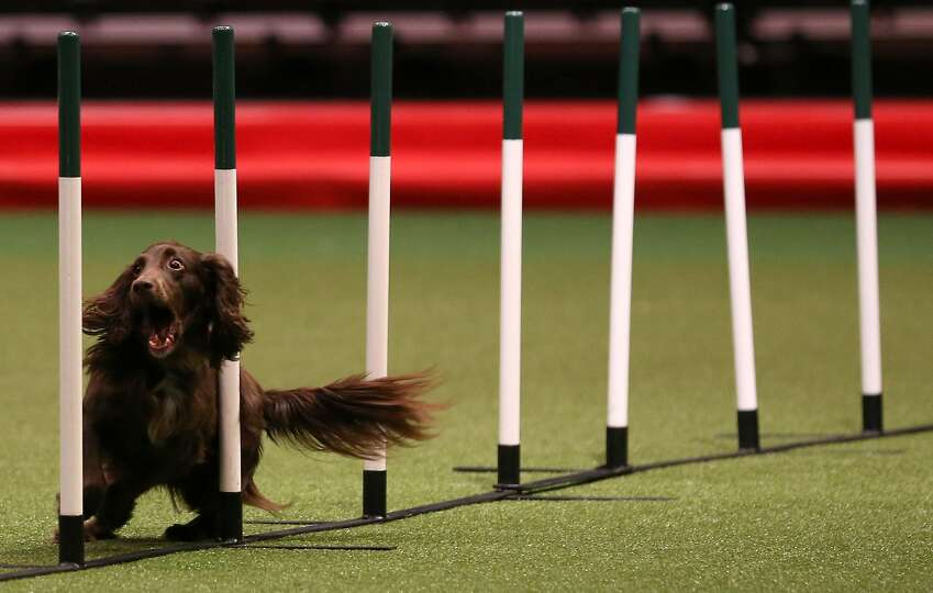 A dog competes in the agility competition on the second day of the Crufts dog show at the NEC on Mar