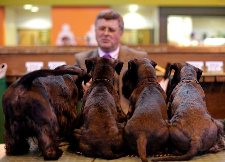 A man looks at terriers on the second day of the Crufts dog show at the NEC on March 7, 2014 in Birm