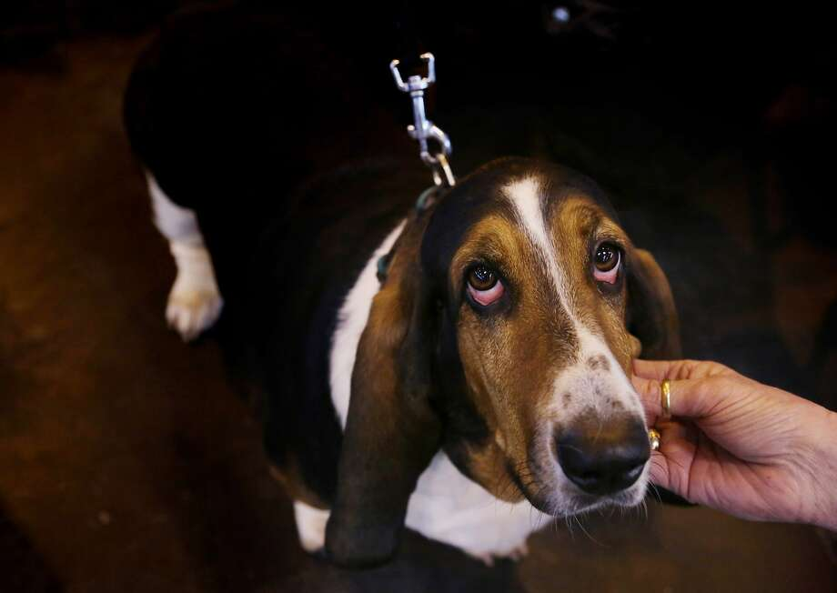 This IS my happy face: A basset gets tickled on the chin at the Crufts dog show in 
